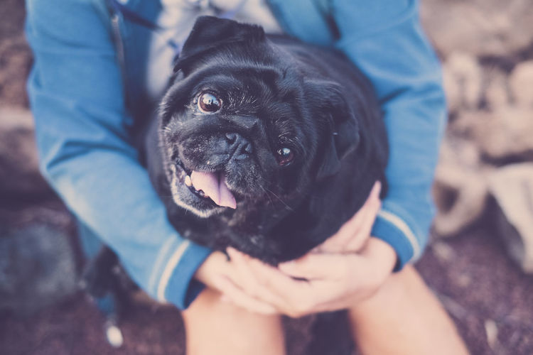 little pug dog in arm to his female mistress looks with big and alert eyes. Dog One Animal Canine Pets Domestic Domestic Animals Mammal Vertebrate Human Body Part One Person Real People Midsection Holding Focus On Foreground Pet Owner Human Hand Black Color Hand Small Human Limb Bonding Embracing Arms