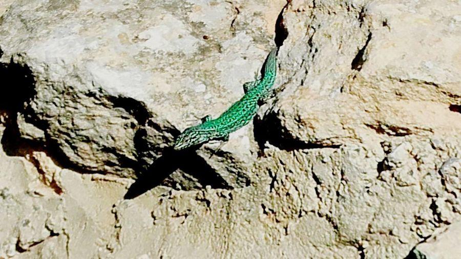 Salamander in