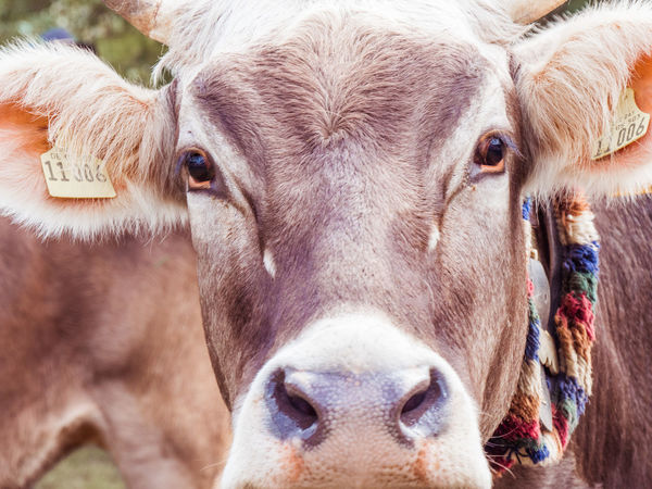 Alpenloge Animal Head  Animal Themes Cattle Close-up Cow Day Domestic Animals Livestock Looking At Camera Mammal Nature No People One Animal Outdoors Portrait
