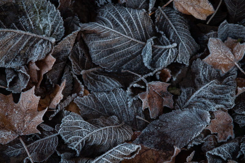 Autumn leaves with frost Fall Autumn Frost Frosted Frozen Leafs Winter Beauty In Nature Close-up Cold Crisp Dead Detail Freeze Garden Ground Hoar Leaf Leaves Macro Nature Outdoors Rime Temperature Winter