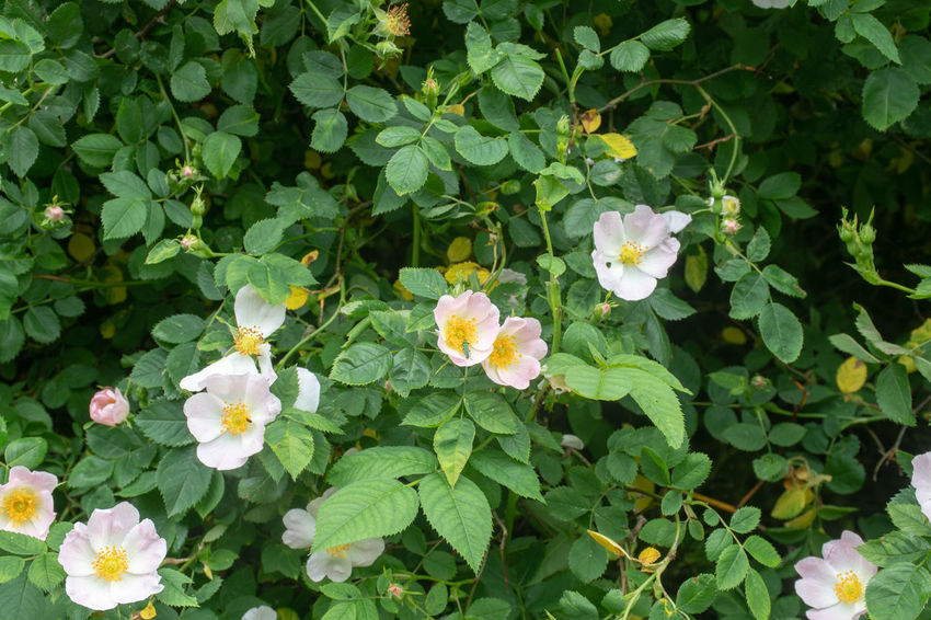English wild roses with small green insect on flower Rosa canina dog rose Wildflower Wildflowers In Bloom Beauty In Nature Dog Rose Dog Rose Flowers Flower Flowering Plant Fragility Freshness Petal Plant Part Rosé Wild Rose