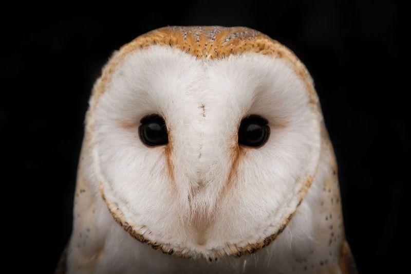 Close-up portrait of barn owl against black background