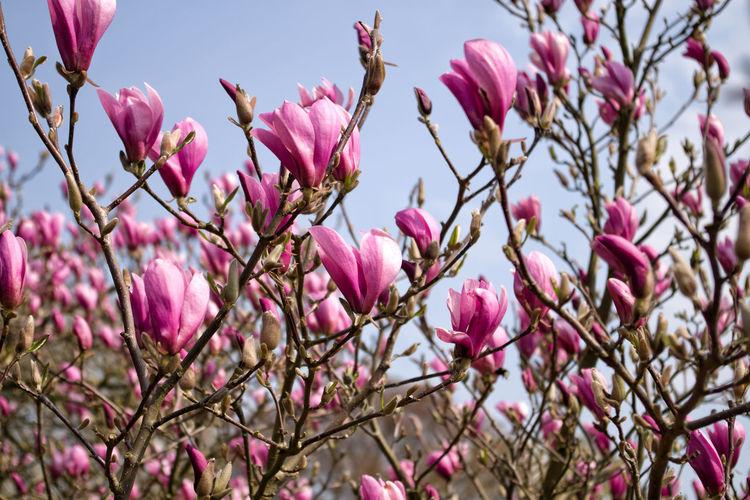 magnolias in