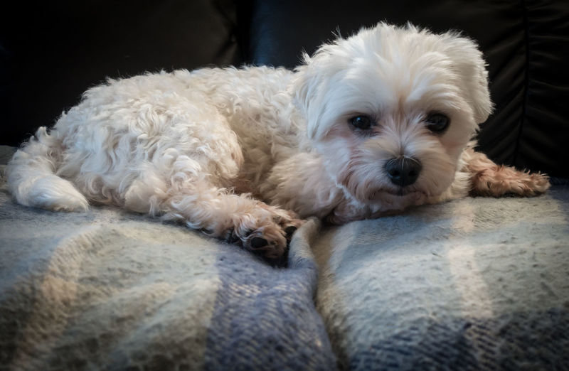 Portrait of white dog relaxing on bed