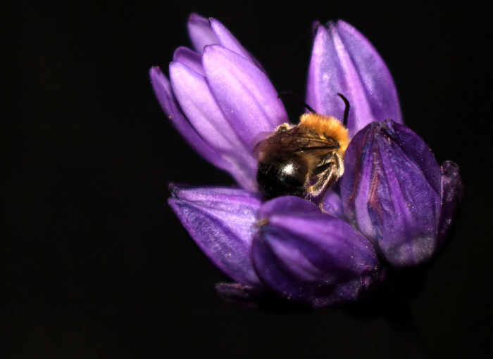 Close-up of bee on purple flower at night