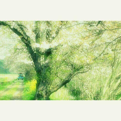 今井の桜 田舎 田んぼ Enjoying Life 桜 Spring Chellyblossom Spring Flowers 春 花