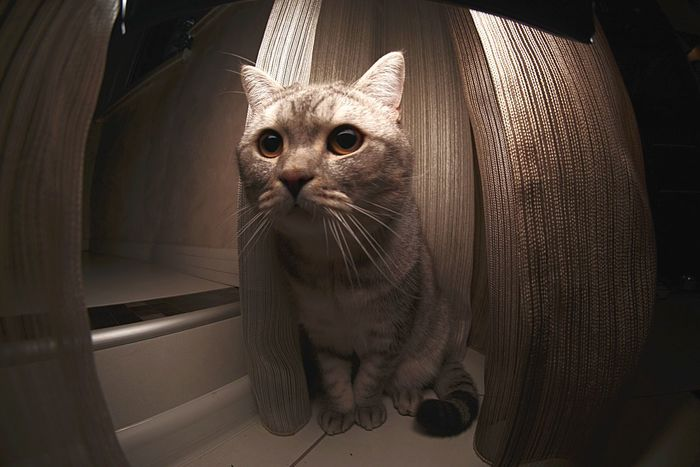 British shorthair Marsel Domestic Cat Pets Domestic Animals One Animal Animal Themes Mammal Feline Looking At Camera Whisker Indoors  Portrait Sitting No People Watching Cat British Shorthair Kitty Close-up Persian Cat  Day