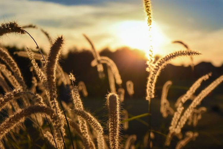 Nature Beauty In Nature Sunlight Close-up Cereal Plant Sunset Outdoors Gold Colored Summer Grass Sky Wheat Day Desaturated Landscape Field