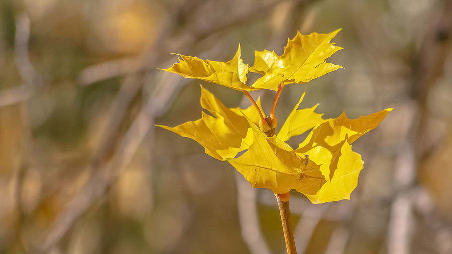 Close-up of yellow rose leaves