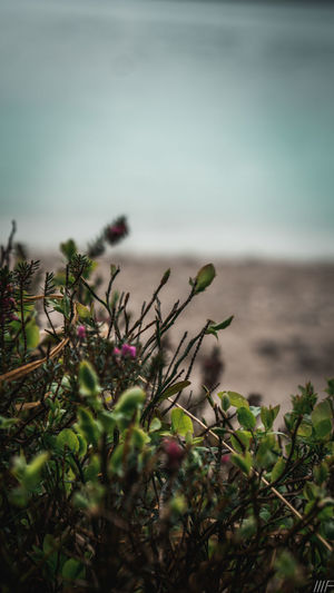 Plant Beauty In Nature Growth Water Sky Tranquility Nature Sea No People Land Scenics - Nature Tranquil Scene Day Selective Focus Horizon Over Water Focus On Foreground Beach Outdoors Freshness