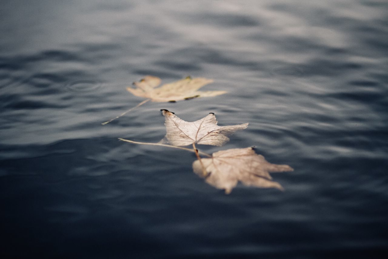 High angle view of maple leaves floating on water