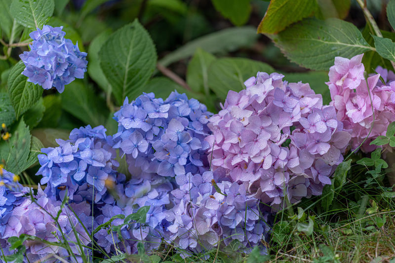 Hortensienblűten Flowering Plant Plant Flower Beauty In Nature Purple Vulnerability  Growth Fragility Plant Part Freshness Petal Leaf Close-up Hydrangea Nature Flower Head Inflorescence Day Green Color Blue No People Outdoors Lilac Bunch Of Flowers Softness