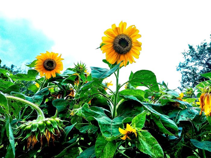 Sunflowrer, bright yellow garden flower, sunflower fieldcrop Beauty In Nature brilliant yellow hazy sky Outdoors No People Blooming Green Leaf