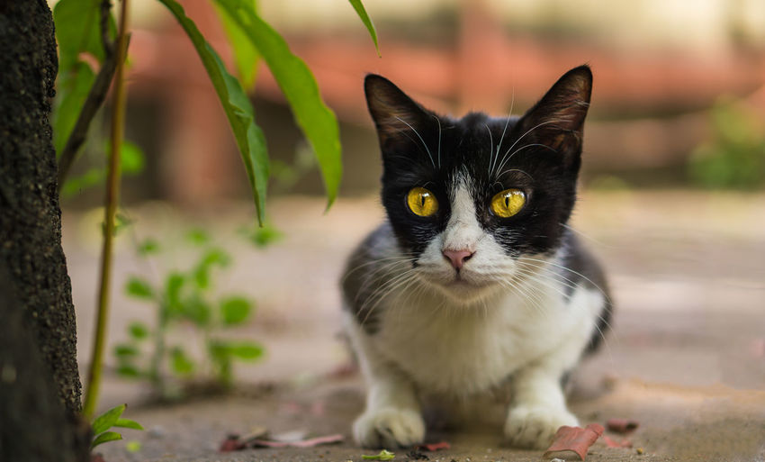 Cat Looking. Beautiful Cute Cat Cute Pets Ginger Cat Kittens Looking At Camera Meow Moggy Adorable Cat  Animal Black Cat Thai Claws'n Paws Kitty Cat Little Looking Paw Playful Portrait Purebred Purebred Cat Pussycat Striped Whisker White