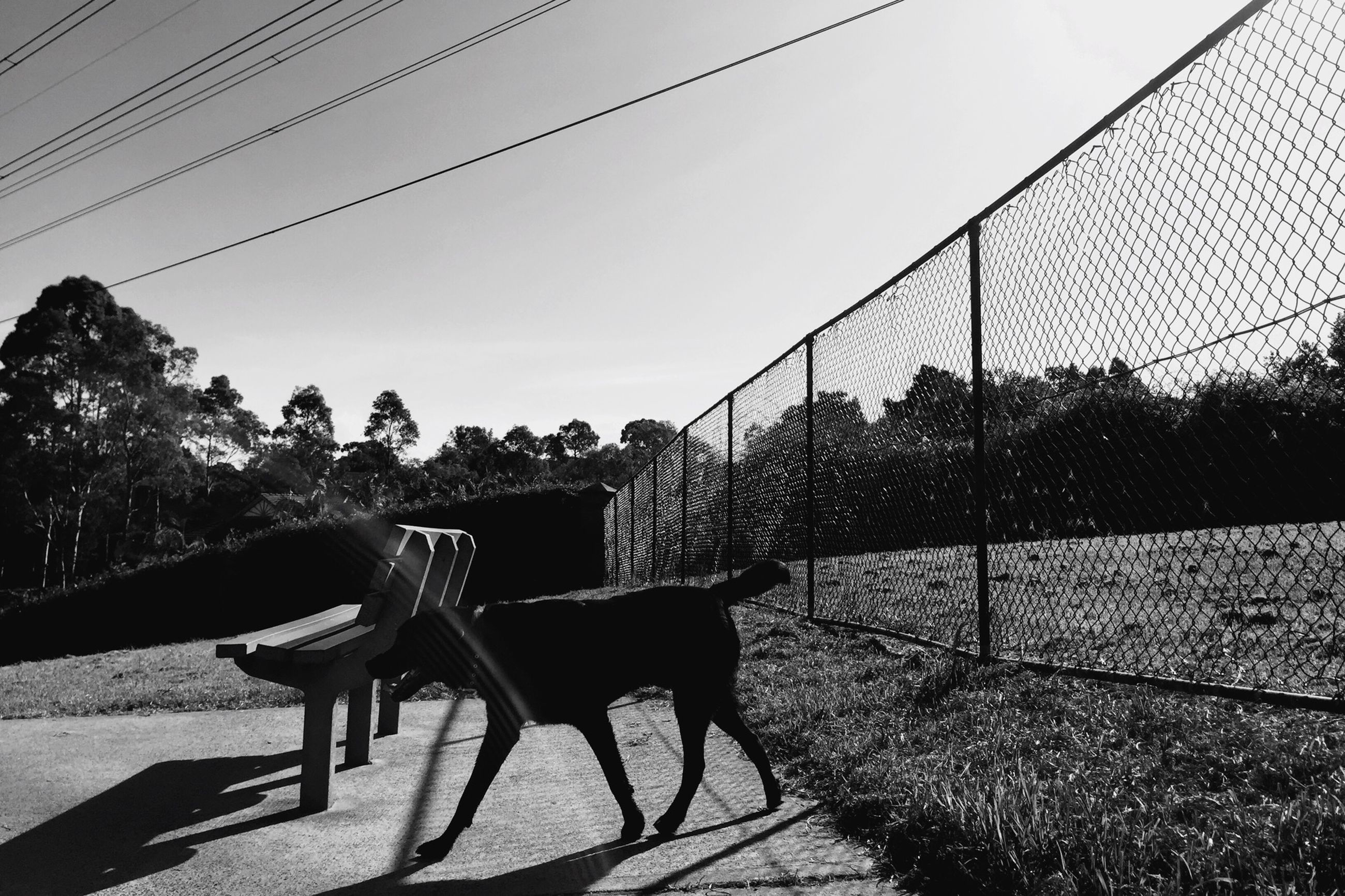 domestic animals, transportation, animal themes, cable, tree, sunlight, clear sky, mammal, power line, shadow, day, one animal, fence, street, men, walking, road, outdoors, sky