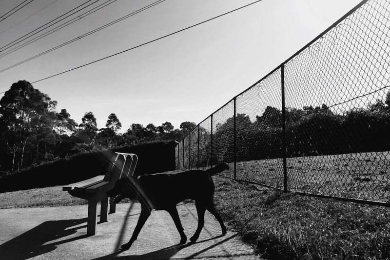 Lone dog at the dog park, Cherrybrook, Sydney. Sydney Streetphotography IPhoneography Open Edit Blackandwhite Dogs