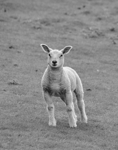 Taking Photos Blackandwhite Lamb Beautiful Enjoying Life EyeEm Nature Lover Baby Sheep Walking Around Nature
