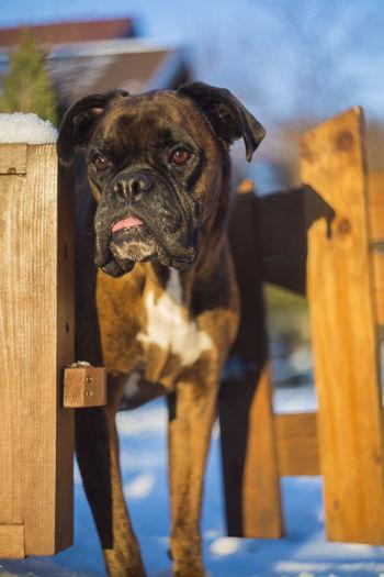 Boxer dog standing at entrance
