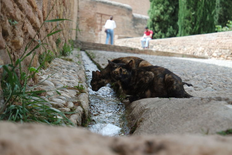 Cats drinking water from gutter