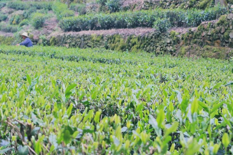 Tea Beauty In Nature Field Agriculture Growth Nature Crop  Plant Tea Field Picking Tea Rural Scene Outdoors Landscape Beauty In Nature Freshness Perspectives On Nature Be. Ready.
