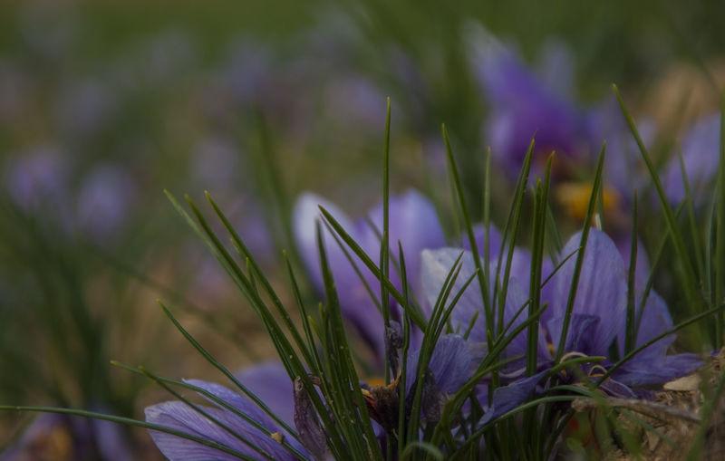 Saffron Beauty
