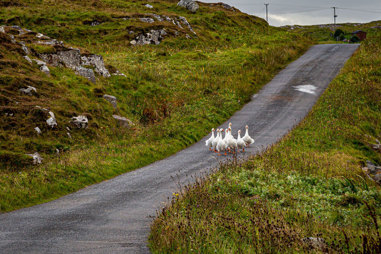 View of sheep walking on road