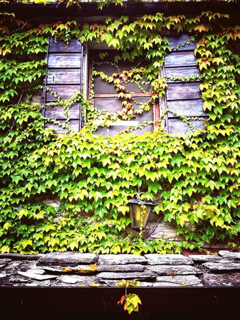 Ivy Leaf Window Architecture Close-up Grass Plant Green Color Grate Closed Door Closed Green Young Plant Door