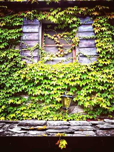 Ivy Leaf Window Architecture Close-up Grass Plant Green Color Grate Closed Door Closed Green Young Plant Door Autumn Mood
