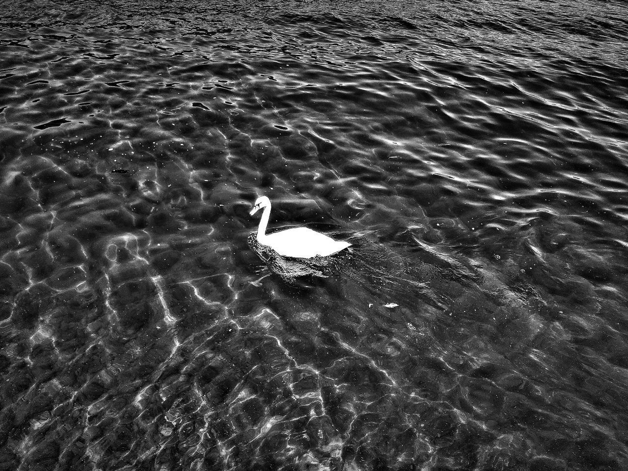 HIGH ANGLE VIEW OF SWAN SWIMMING ON SEA