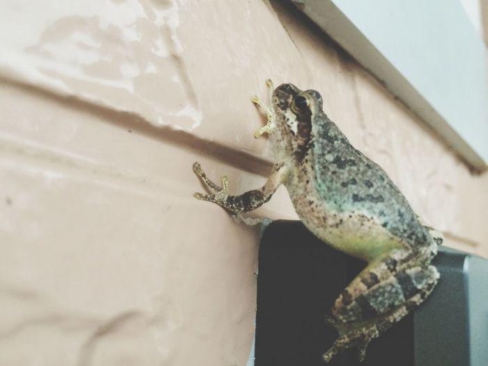 Rainy Days Frog