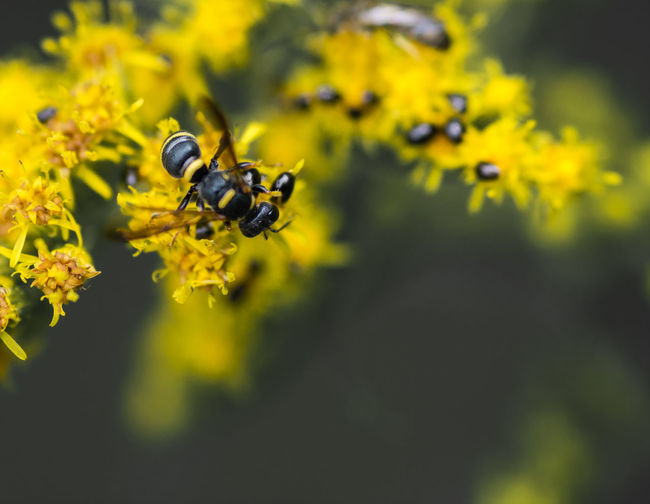 Animal Animal Themes Animal Wildlife Animals In The Wild Beauty In Nature Bee Close-up Day Flower Flower Head Flowering Plant Fragility Freshness Growth Insect Invertebrate Nature No People Outdoors Plant Pollination Selective Focus Vulnerability  Yellow