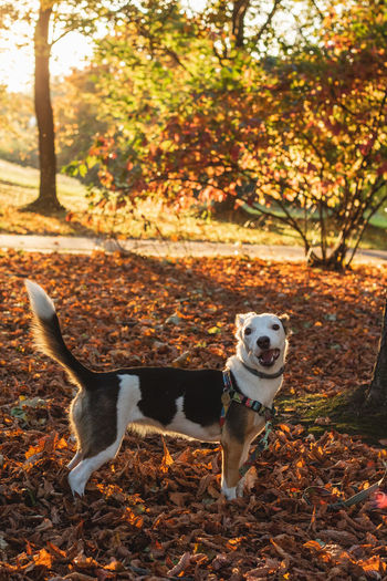 Animal Animal Themes Autumn Canine Change Dog Domestic Domestic Animals Forest Jack Russell Terrier Land Leaf Leaves Mammal Nature No People One Animal Outdoors Pets Plant Plant Part Purebred Dog Small Tree Vertebrate