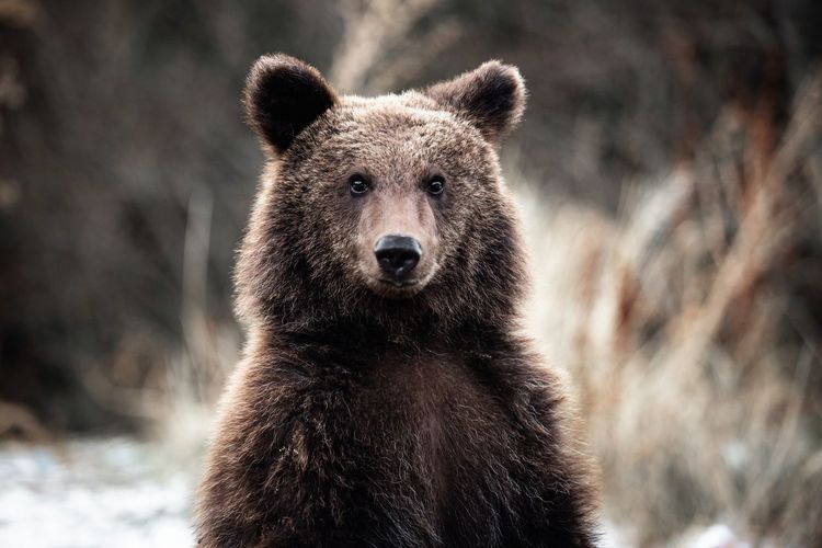 Brown bear portrait in the wilderness forest