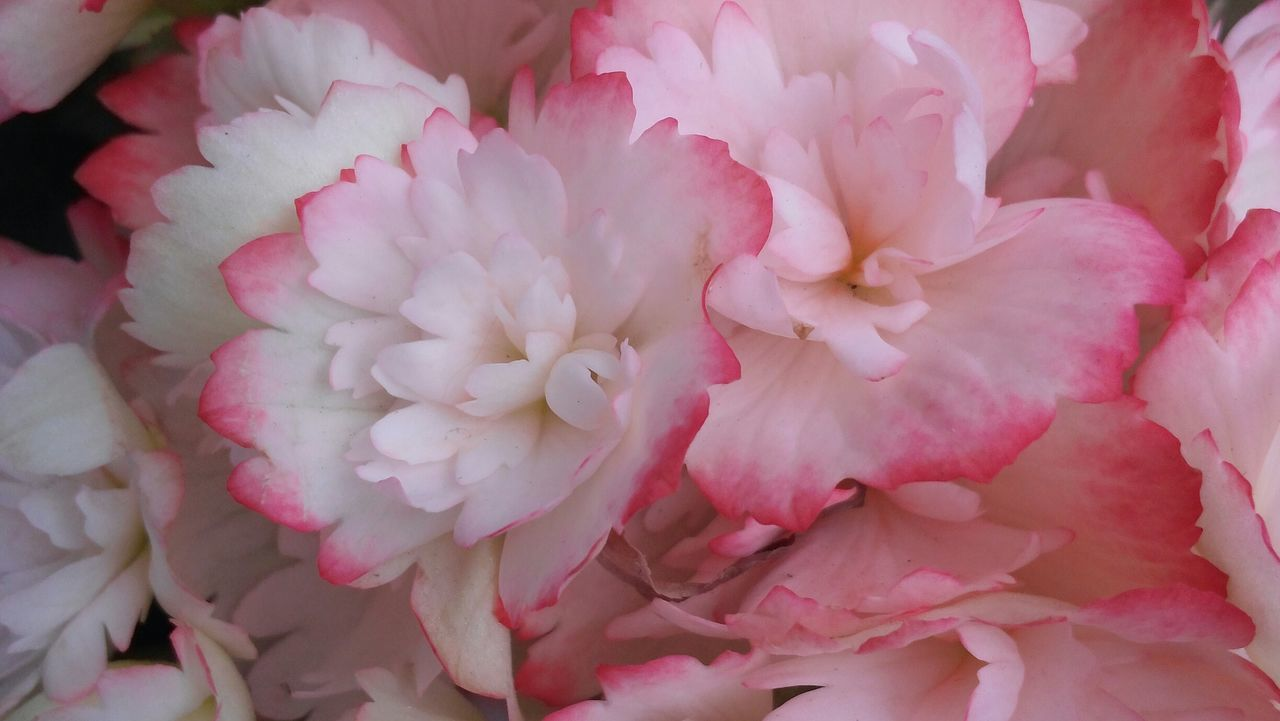 flower, petal, pink color, beauty in nature, fragility, flower head, nature, close-up, backgrounds, no people, full frame, freshness, rose - flower, day, outdoors, peony