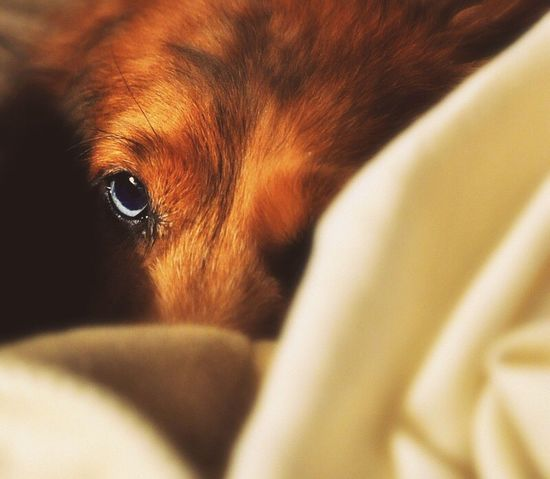 Blue Eyes Dachshund Cozy Cozy Place Cozytime Dog Covered Wintertime Pet Portraits