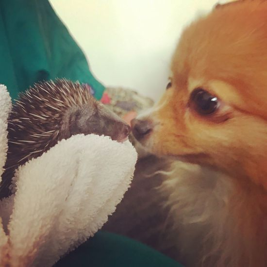 Freyja, 3 year old Pomeranian cross chihuahua meeting a baby hedgehog. Dog Animal Themes Close-up Wildlife Baby Hedgehog