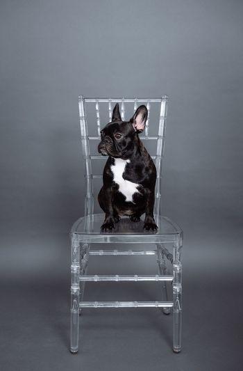 Chair Transparent Dogs Of EyeEm Pets Pet Dog French Bulldog Frenchie Frenchbulldog Animal Themes Animal One Animal Pet Portrait Gray Background Domestic Animals Canine Seat
