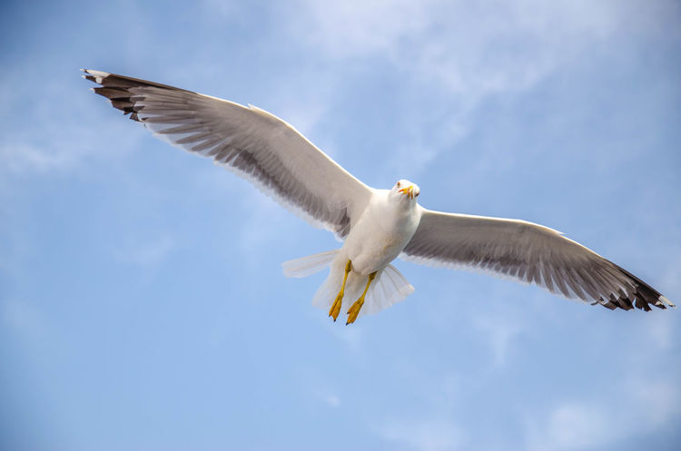 European herring gull Animal Animal Themes Animal Wildlife Animal Wing Animals In The Wild Bird Cloud - Sky Day Directly Below Eagle Flapping Flying Low Angle View Mid-air Motion Nature No People One Animal Outdoors Seagull Sky Spread Wings Vertebrate White Color