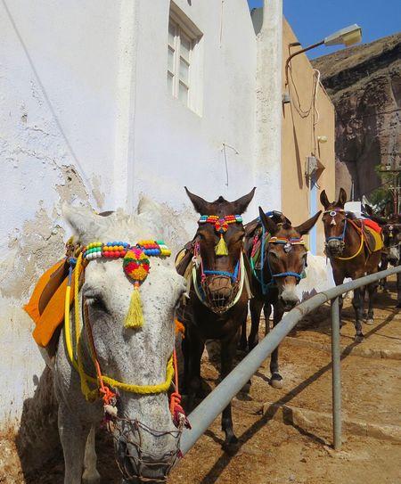 Santorini Greece Travelingtheworld  Travelphotography Travel Photography Travels Donkey