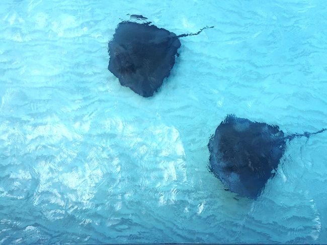 Stingray Couple In The Water Ocean