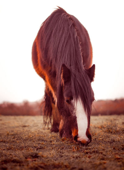 Close-up of horse on field against clear sky