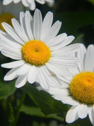 Hello Miss Daisy EyeEmNewHere Flower Beauty In Nature Nature Petal Blooming Close-up Outdoors