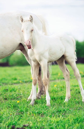 Agriculture Animal Animal Themes Care Day Domestic Animals Female Animal Foal Grass Grazing Horse Horses Landscape Livestock Mammal Milk Nature No People Outdoors Pasture Pets Sheep Sky Togetherness