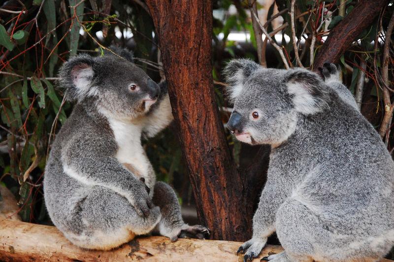 Koalas sitting on branch
