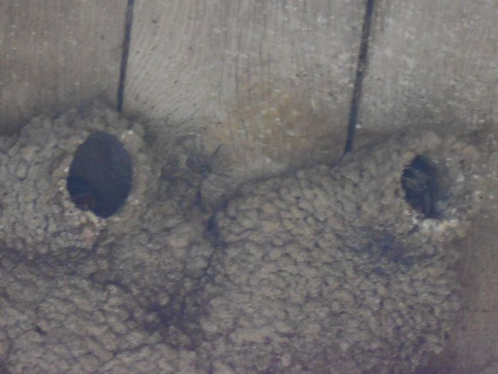 Nests of the Barn Swallow Bird Photography Nests Of Swallows On A Roof Susan A. Case Sabir Unretouched Photography Barn Roof Barn Swallow Nest Barn Swallow Nests Close-up Day Nature No People Outdoors Swallow Nest Swallow's Nest