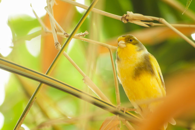Portrait of a bird Animal Themes Animal One Animal Bird Animal Wildlife Vertebrate Animals In The Wild Perching Plant Close-up Yellow No People Selective Focus Day Nature Outdoors Beauty In Nature Focus On Foreground Plant Stem Growth