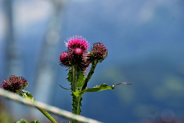 Close-up of thistle on plant