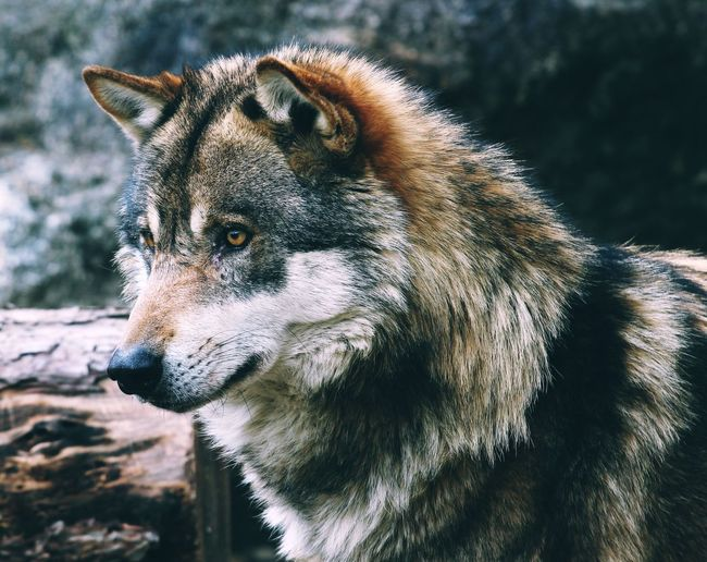 Animal Animal Head  Animal Photography Animal Themes Animals Focus On Foreground Mammal Nature Nature_collection Nature_perfection Naturelovers No People One Animal Wolf