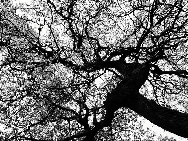 Glenreagh Devilsbit Mountain Tipperary Ireland Oak Tree Oak Broadleaf Oak Wood Sessile Oak Nature Trees Outdoors Foliage Tree Branches Black & White Monochrome Photography