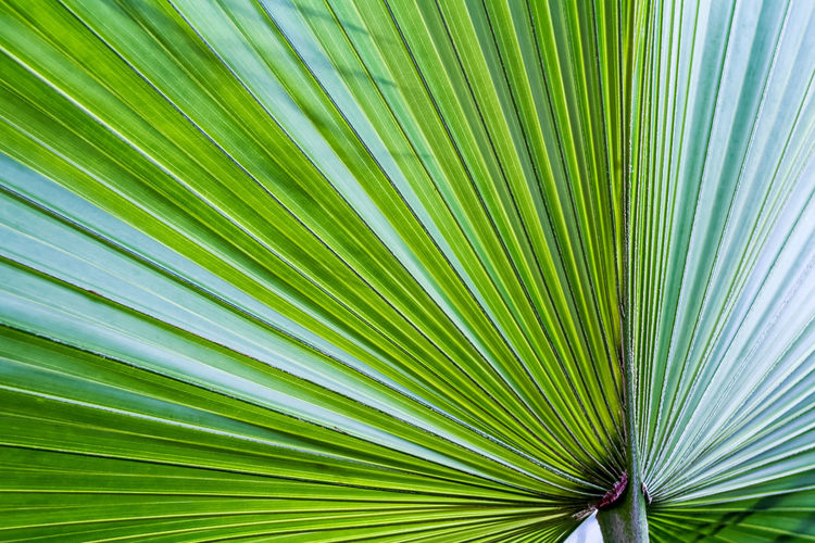 Fifty shades of green - the light filtering through a palm leaf Backgrounds Beauty In Nature Botany Close-up Day Detail Exotic Full Frame Green Green Color Growing Growth Leaf Leafs Leaves Leisure Activity Lush Foliage Natural Pattern Nature No People Outdoors Palm Leaf Plant Shadow Tranquility